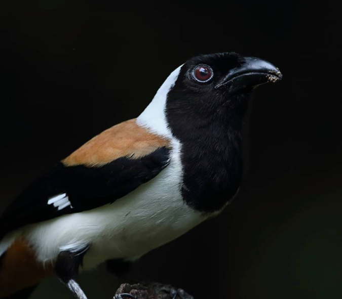 White-bellied Treepie by Gururaj Moorching - La Paz Group