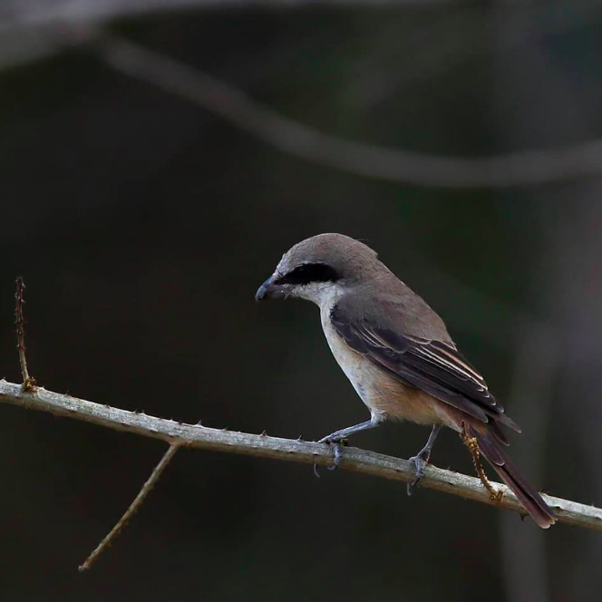 Philippines Shrike by Gururaj Moorching - La Paz Group