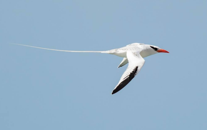 Red-billed Tropicbird by Leander Khil - La Paz Group