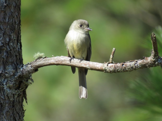 Hispaniolan Pewee by Seth Inman - La Paz Group