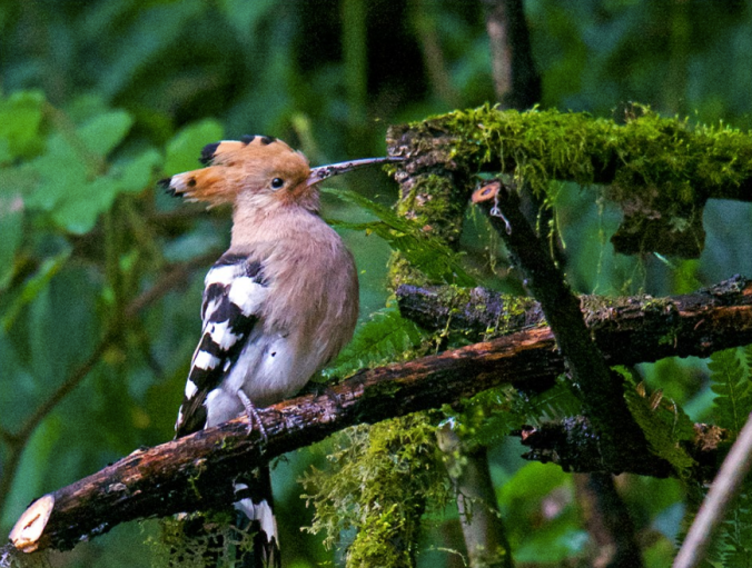 Common Eurasian Hoopoe by Puneet Dhar - La Paz Group