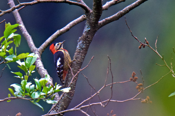 Crimson-breasted Woodpecker by Puneet Dhar - La Paz Group