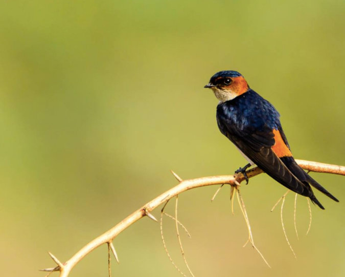 Red-rumped Swallow by Ramesh Desai - La Paz Group
