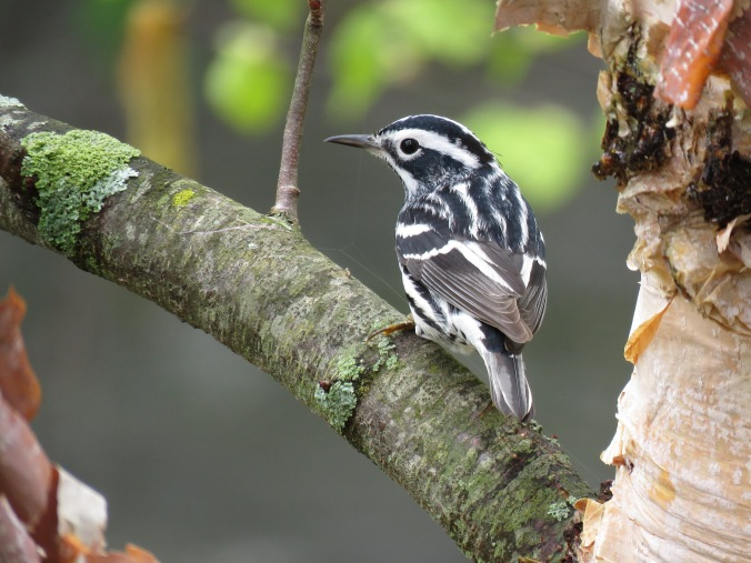 Black-and-white Warbler by Seth Inman - La Paz Group