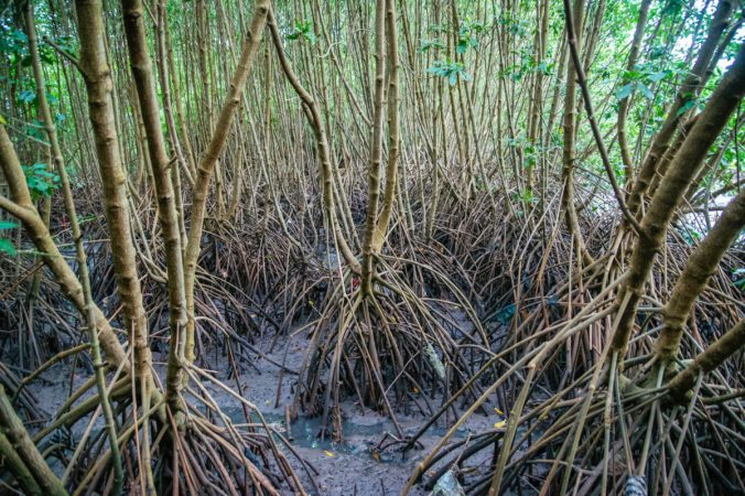 MangroveRoots_Bali_Alamy_web.jpg