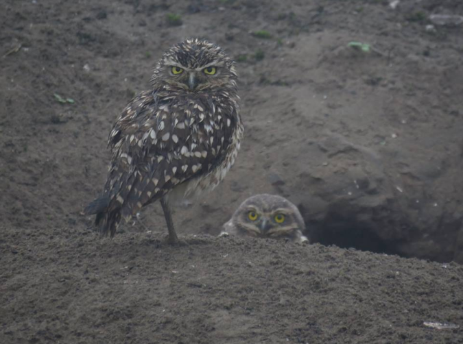 Burrowing Owls by Seth Inman - La Paz Group