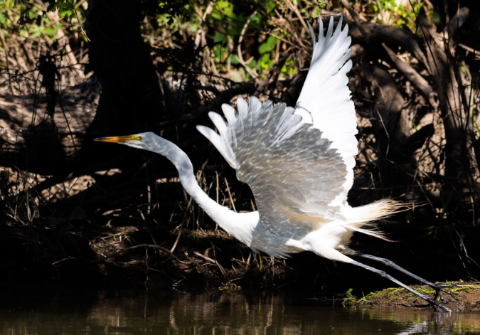 Great Egret by Leander Khil - La Paz Group
