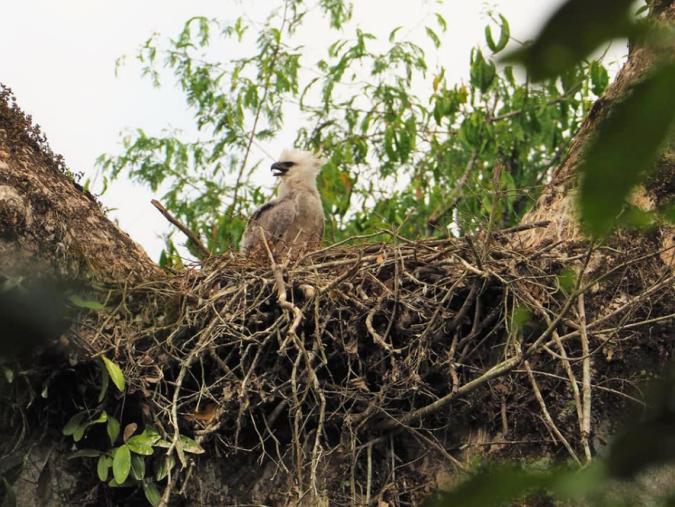 Harpy Eagle by Daniel Aldana - La Paz Group