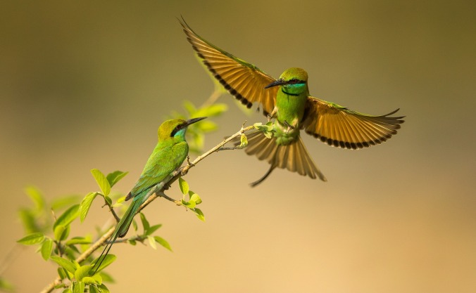 Green Bee-eater by Sudhir Shivaram - La Paz Group