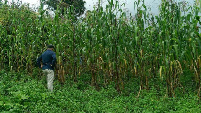corn-field-sierra-mixe-uc-davis_web