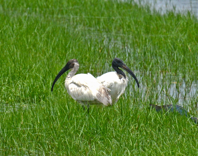 Black-headed Ibis by Puneet Dhar - La Paz Group