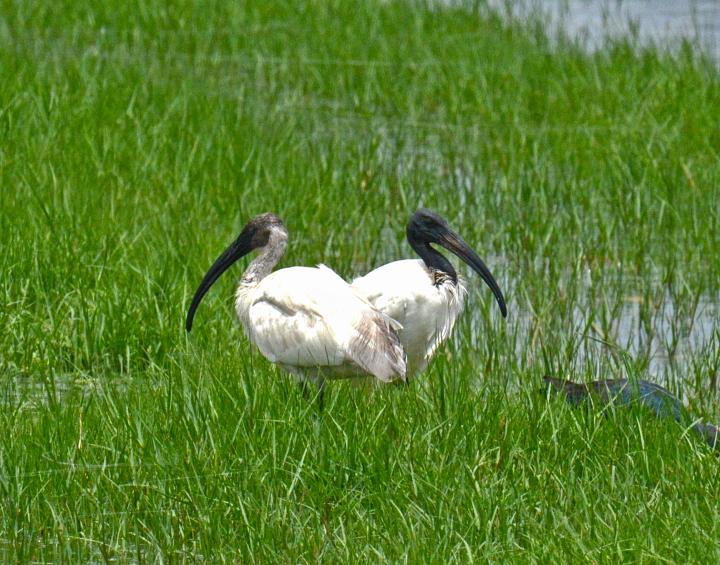 Black-headed Ibis by Puneet Dhar - La Paz Group