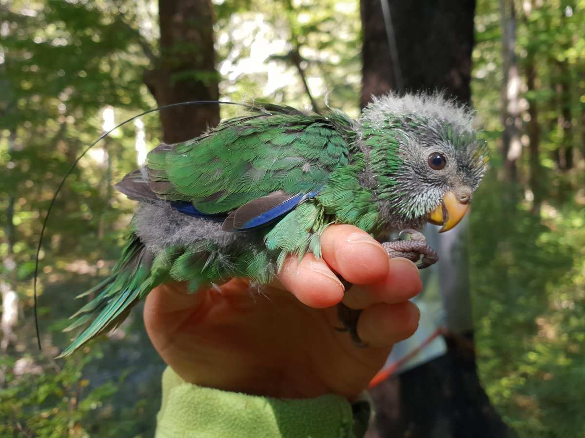 orange-fronted-parakeet-chick-with-transmitter-doc-c9811c0f185647851facaa77fc88d87cd8614f8f-s1200-c85.jpg