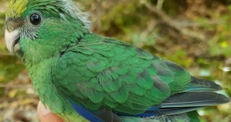 orange-fronted-parakeet-chick.jpg