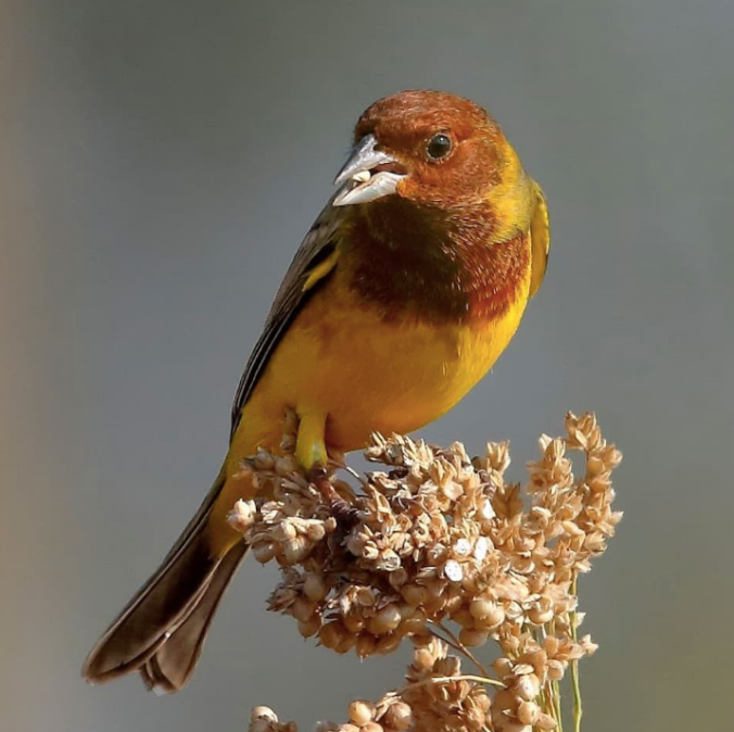 Red-headed Bunting by Gururaj Moorching - La Paz Group