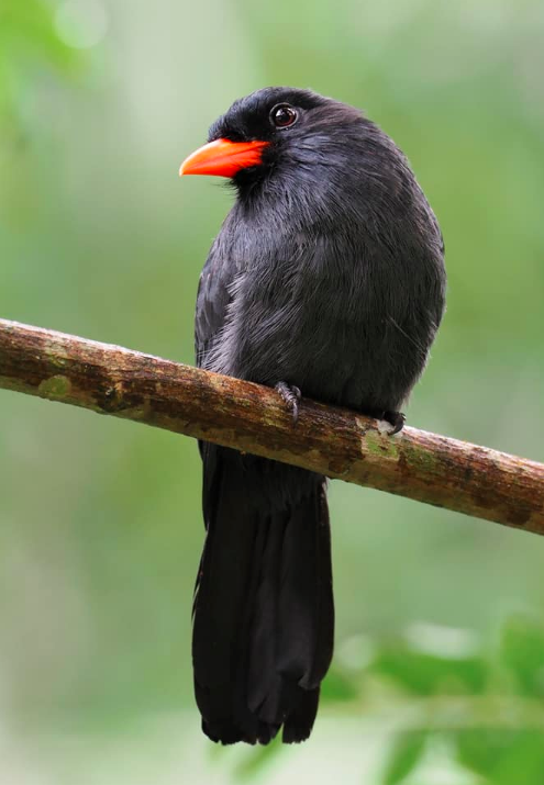 Black-fronted Nunbird by Daniel Aldana - La Paz Group