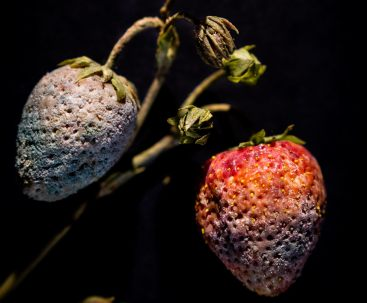 Fruits in Decay Strawberry