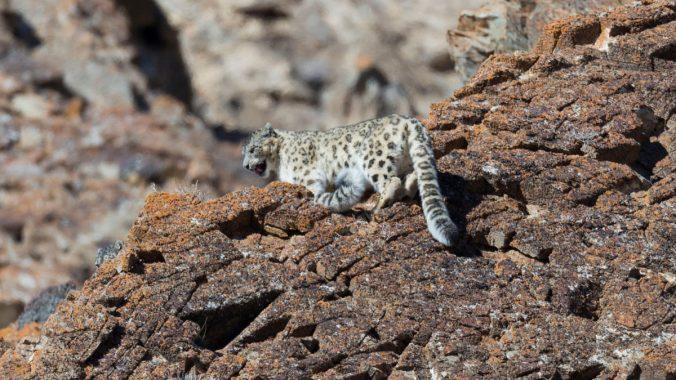SnowLeopard_Mongolia_alamy_T8JMBM_web.jpg