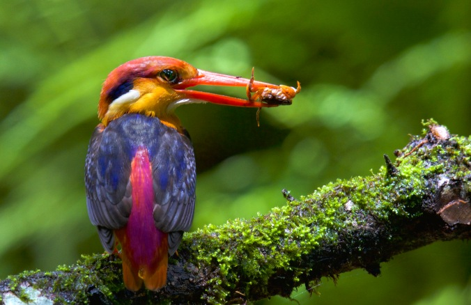Oriental Dwarf Kingfisher by Puneet Dhar - La Paz Group