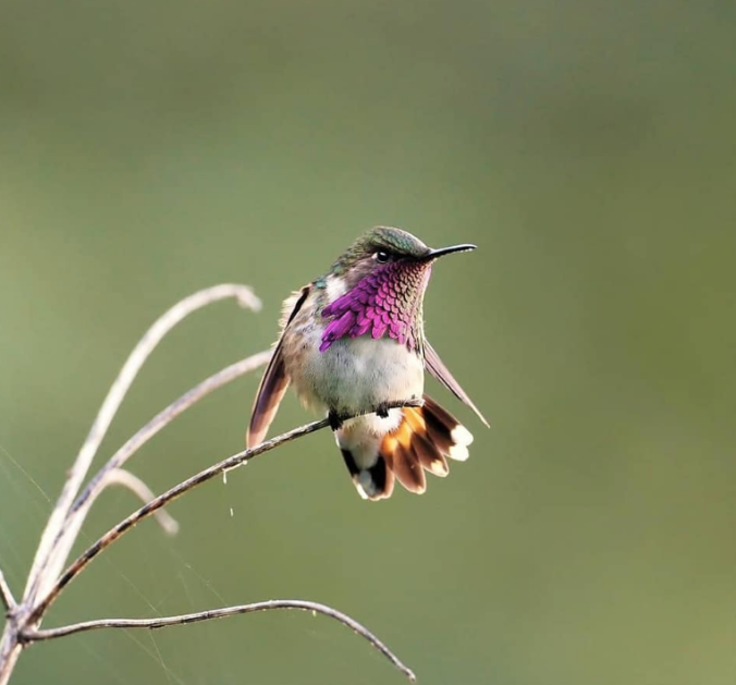 Wine-throated Hummingbird by Daniel Aldana - La Paz Group