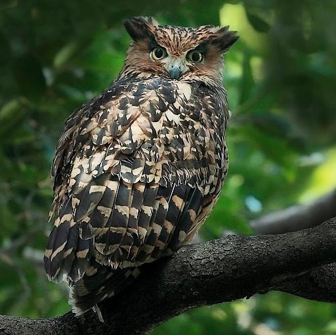 Bird Of The Day Tawny Fish Owl Organikos
