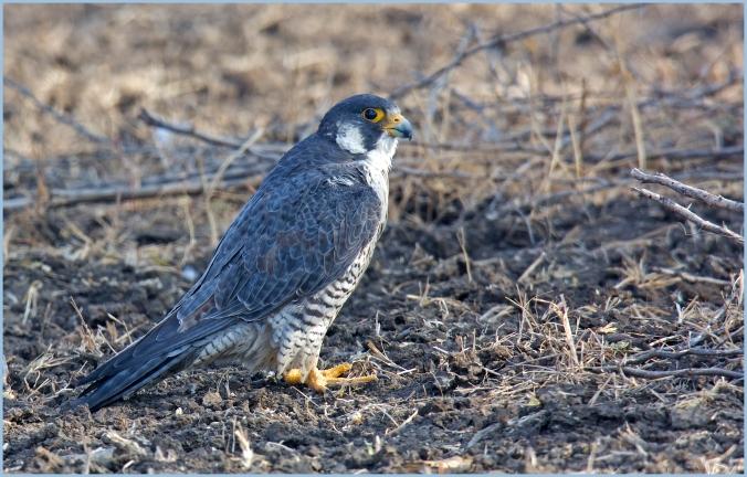 Peregrine Falcon by Puneet Dhar - La Paz Group