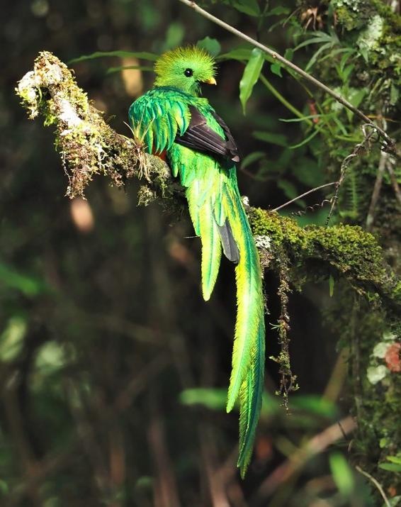 Resplendent Quetzal by Daniel Aldana - La Paz Group
