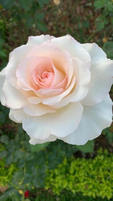Rose6.jpeg