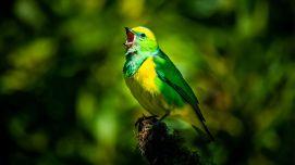 shutterstock_1411303766_birdsinging_web