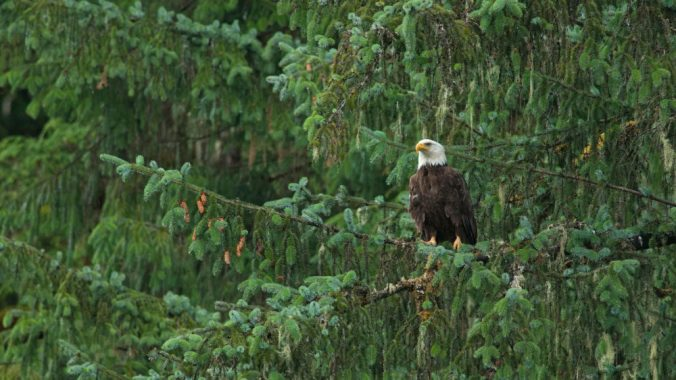 JMJT3T_Tongass-Bald-Eagle_web.jpg