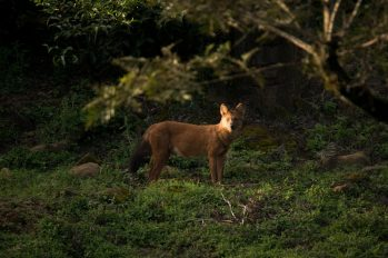 Dhole-in-the-dawn_Ganesh-Raghunathan_web