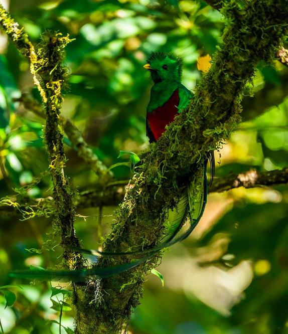 Resplendent Quetzal by Sudhir Shivaram - La Paz Group