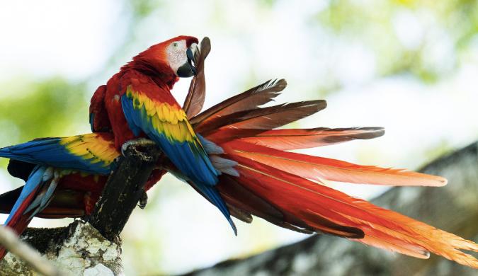 Scarlet Macaw by Sudhir Shivaram - La Paz Group