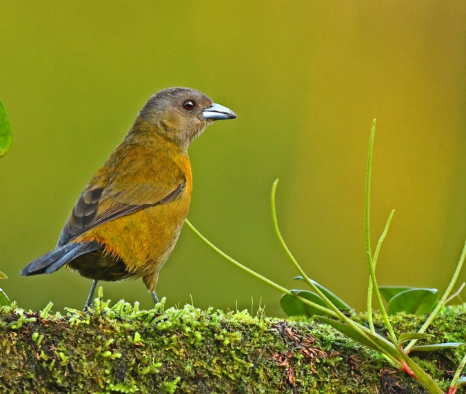 Crimson-collared Tanager female by Puneet Dhar - La Paz Group