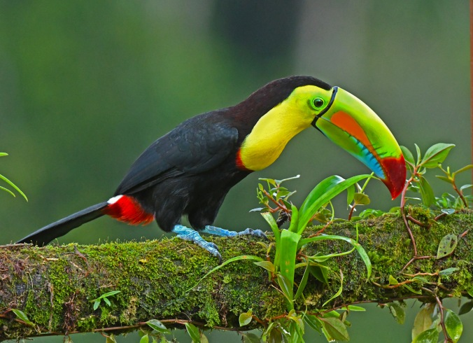 Keel-billed Toucan by Puneet Dhar - La Paz Group