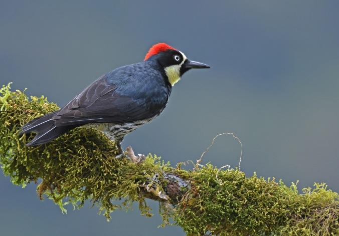 Acorn Woodpecker by Puneet Dhar - Organikos