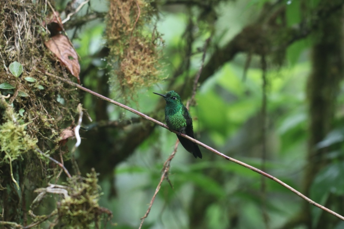Green-crowned Brilliant - male by Stephen Crafts - La Paz Group