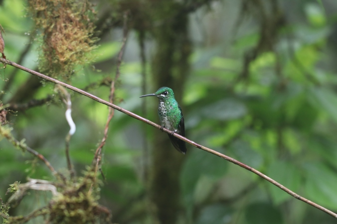 Green-crowned Brilliant - female by Stephen Crafts - La Paz Group