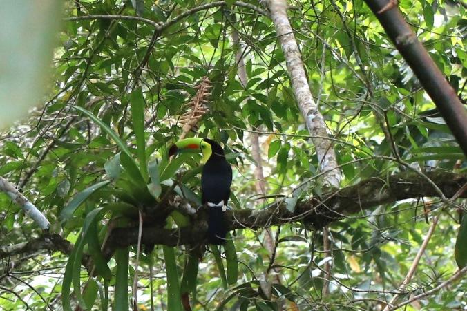 Keel-billed Toucan by Stephen Crafts - La Paz Group