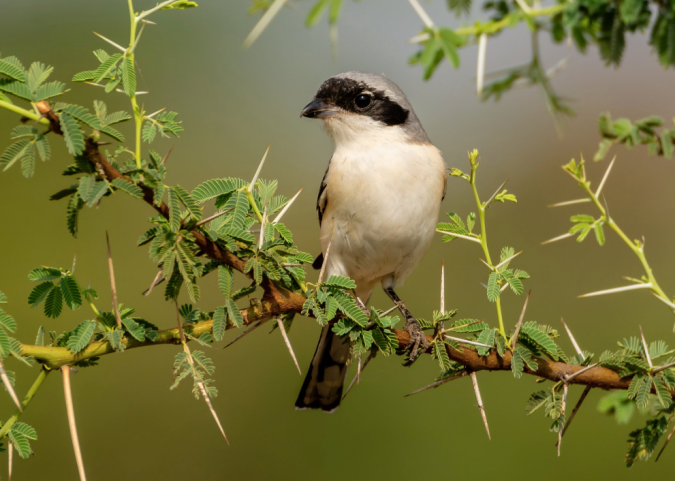 Bay-backed Shrike by Ramesh Desai - La Paz Group