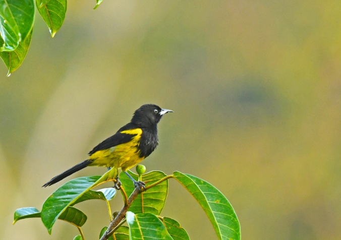 Black-cowled Oriole by Puneet Dhar - La Paz Group
