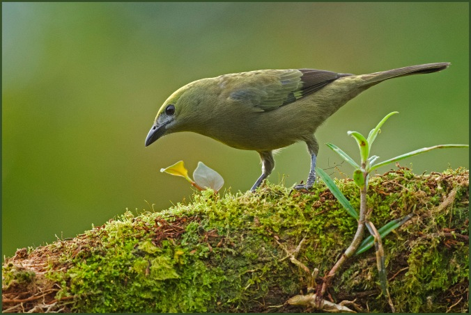 Palm Tanager by Puneet Dhar - La Paz Group