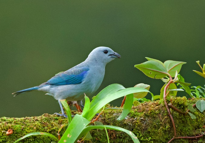 Blue-grey Tanager by Puneet Dhar - La Paz Group