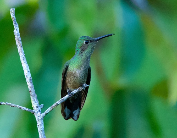 Scaly-breasted Hummingbird by Puneet Dhar - La Paz Group