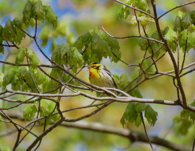 Blackburnian Warbler by Seth Inman - La Paz Group