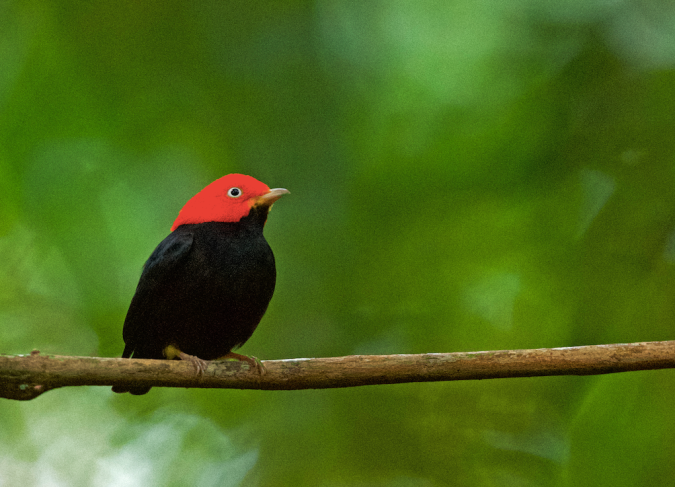 Red-capped Manakin by Puneet Dhar - La Paz Group