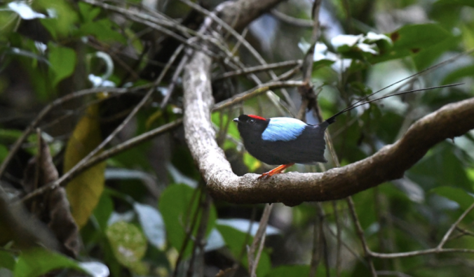 Long-tailed Manakin by Puneet Dhar - La Paz Group