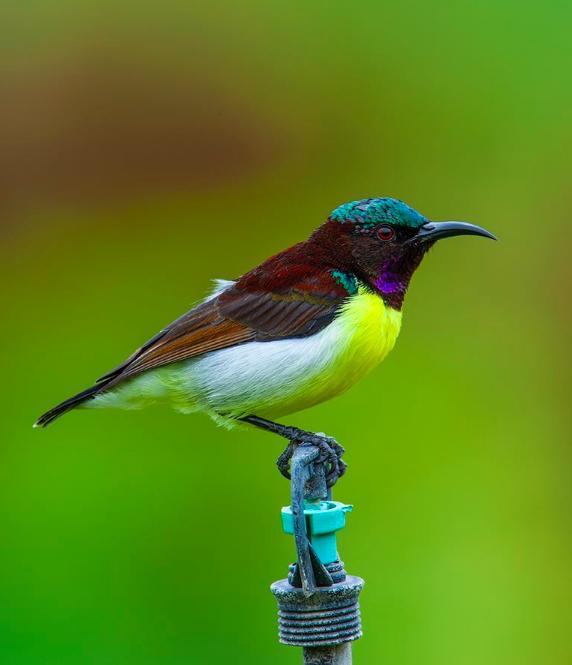 Purple-rumped Sunbird by Sudhir Shivaram - Organikos