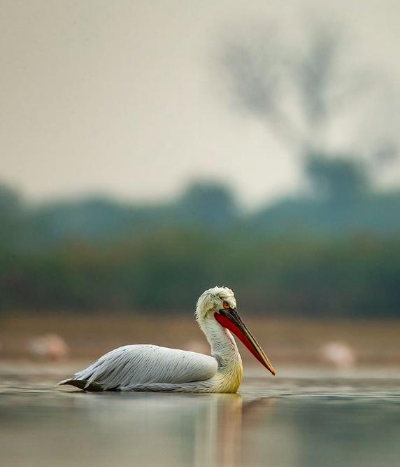 Dalmatian Pelican by Sudhir Shivaram - La Paz Group