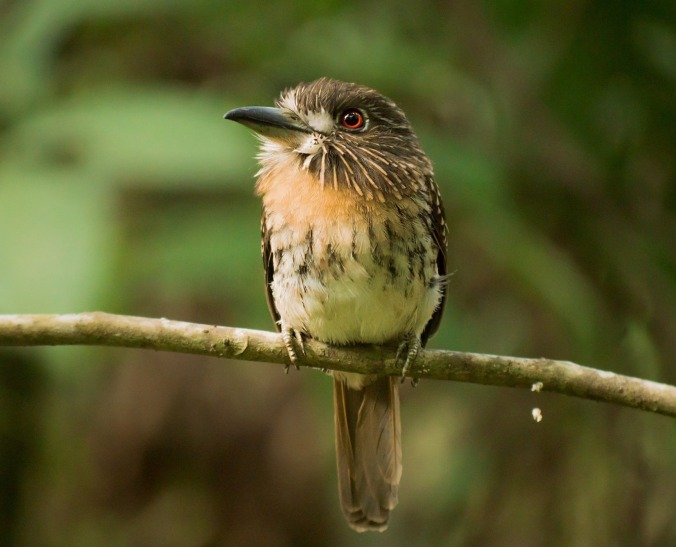 White-whiskered Puffbird by Hugo Santa Cruz - La Paz Group